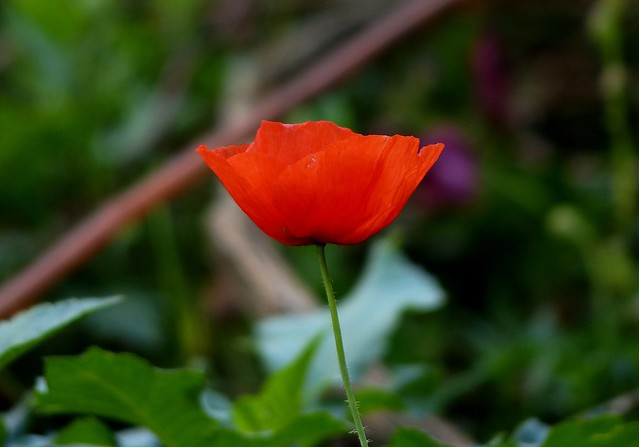 Red Poppy - Western Himalayas 1900m