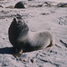 Scarred Hooker's sea lion. Macquarie Island