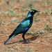 Lamprotornis chalybaeus (Greater Blue-eared Starling) - South Africa by Nick Dean1
