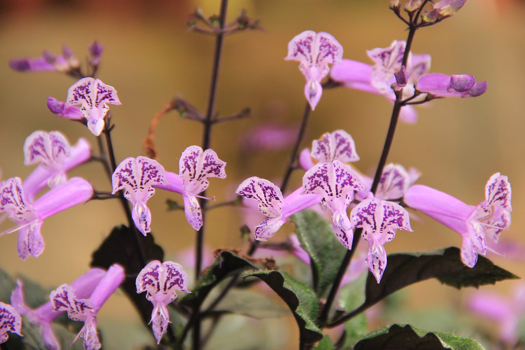 Orchids, Floriculture Centre, Munnar
