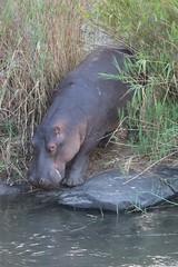 Kruger National Park - Hippo