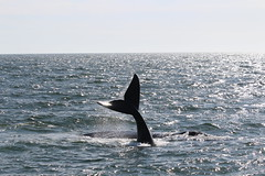 Hermanus - Southern right whale