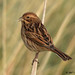 reed bunting 54 2017 female