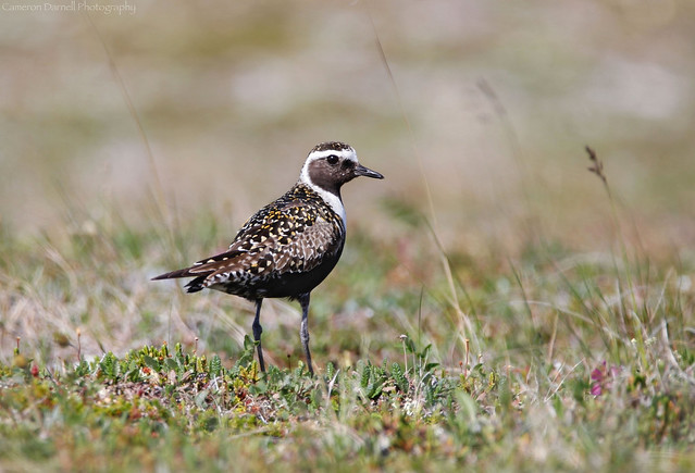 American Golden-Plover and tundra