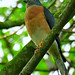 . Chinese sparrowhawk (Accipiter soloensis) by NatureInYourBackyard