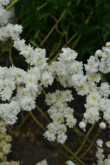 FILIPENDULA vulgaris 'Devon Cream'