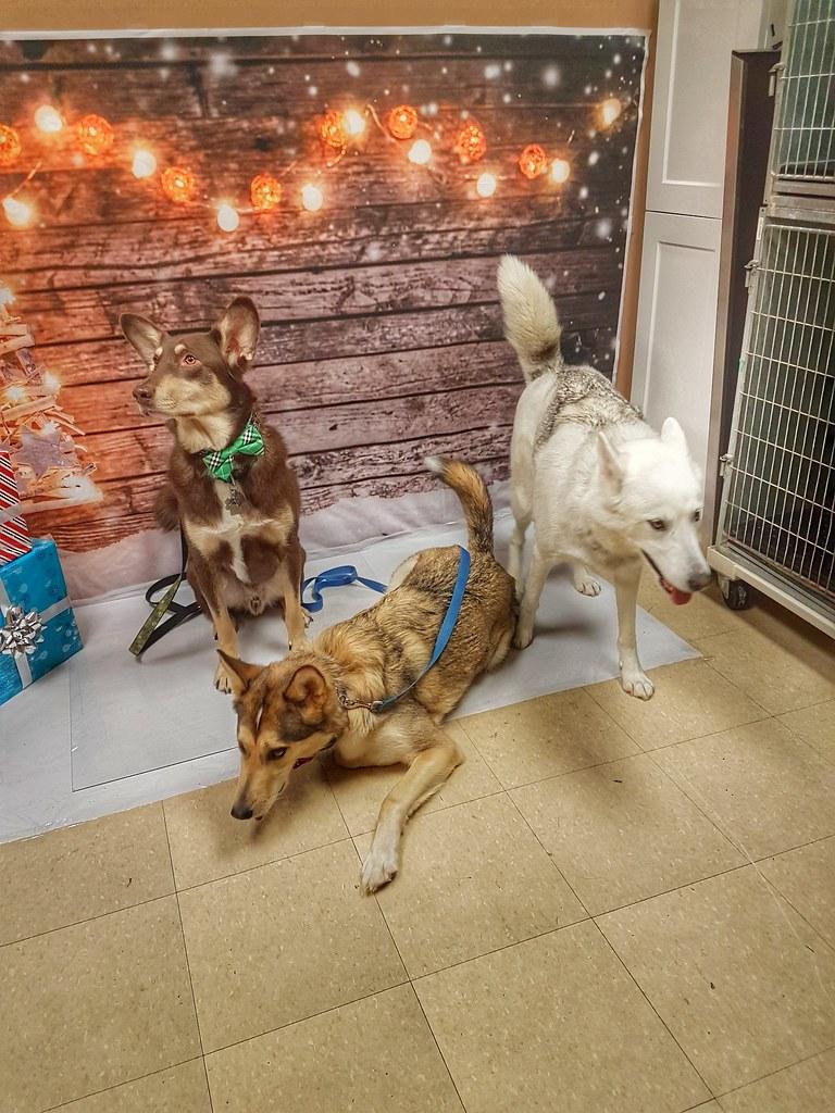 Husky Santa Paws chaos 2