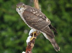 SPARROWHAWK....Female....Snowfall over night....Best on large.