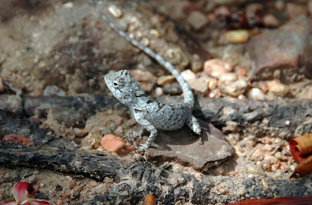 Lizard at Phu Prabat in northeast Thailand (Issan)