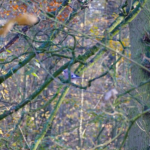 Jay high in tree, Himley Plantation