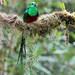 Pharomachrus mocinno (Resplendent Quetzal) by Eduardo Mena U.