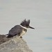 Belted Kingfisher by poecile05