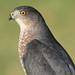 Cooper's Hawk (Accipiter cooperii) by Steve Byland