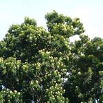 Flindersia brayleyana crown
