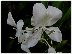 White blossoms of Hedychium coronarium (White Ginger Lily, White Ginger, Butterfly Ginger Lily, Garland Flower) with yellow tinted lips, 17 Nov 2017