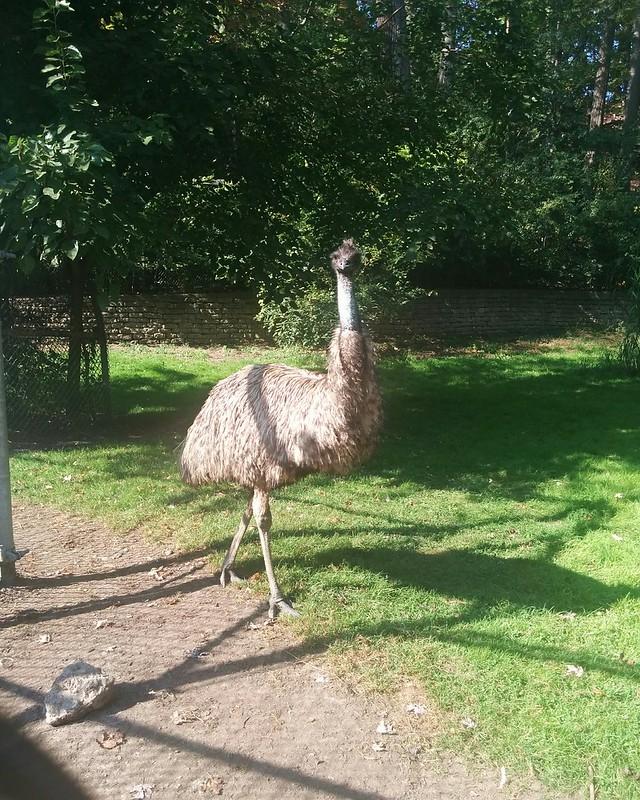Emu, looking back #toronto #highpark #highparkzoo #birds #emu #latergram