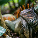 Iguana by Fabster44