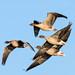Pinkfoot Geese Marshside RPSB F00033 D210bob DSC_8516