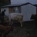 Snowball, new bull calf and Stefan Csordas. Macquarie