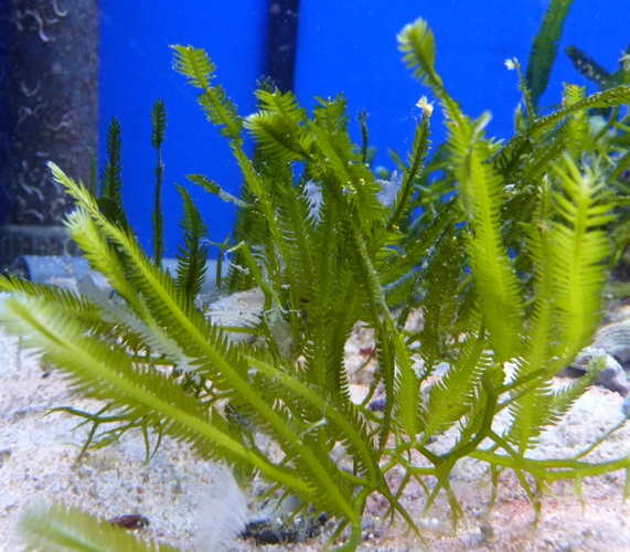 Caulerpa taxifolia 37817501755_81f6606063_o