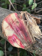 Rosy colors of cut Surinam cherry trunk