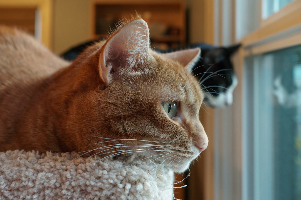 Our cats Sam and Boo look out the window from the top of the cat tree
