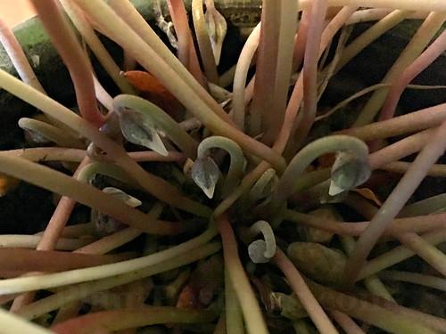 cyclamen buds