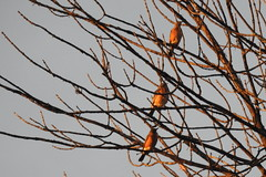 American Robins getting the first sunlight in Greenbelt Park