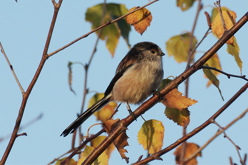 bird wild wildlife nature lackfordlakes suffolk woodland longtailedtit aegithaloscaudatus