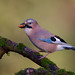 Eurasian Jay (Garrulus glandarius) - Stoke-on-Trent, Stafforshire, UK.