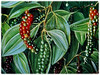 Piper nigrum (Black Pepper, Common Pepper, Pepper Vine/Plant, White/Madagascar Pepper, Lada Hitam in Malay)