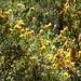 Oxylobium ellipticum Golden Rosemary