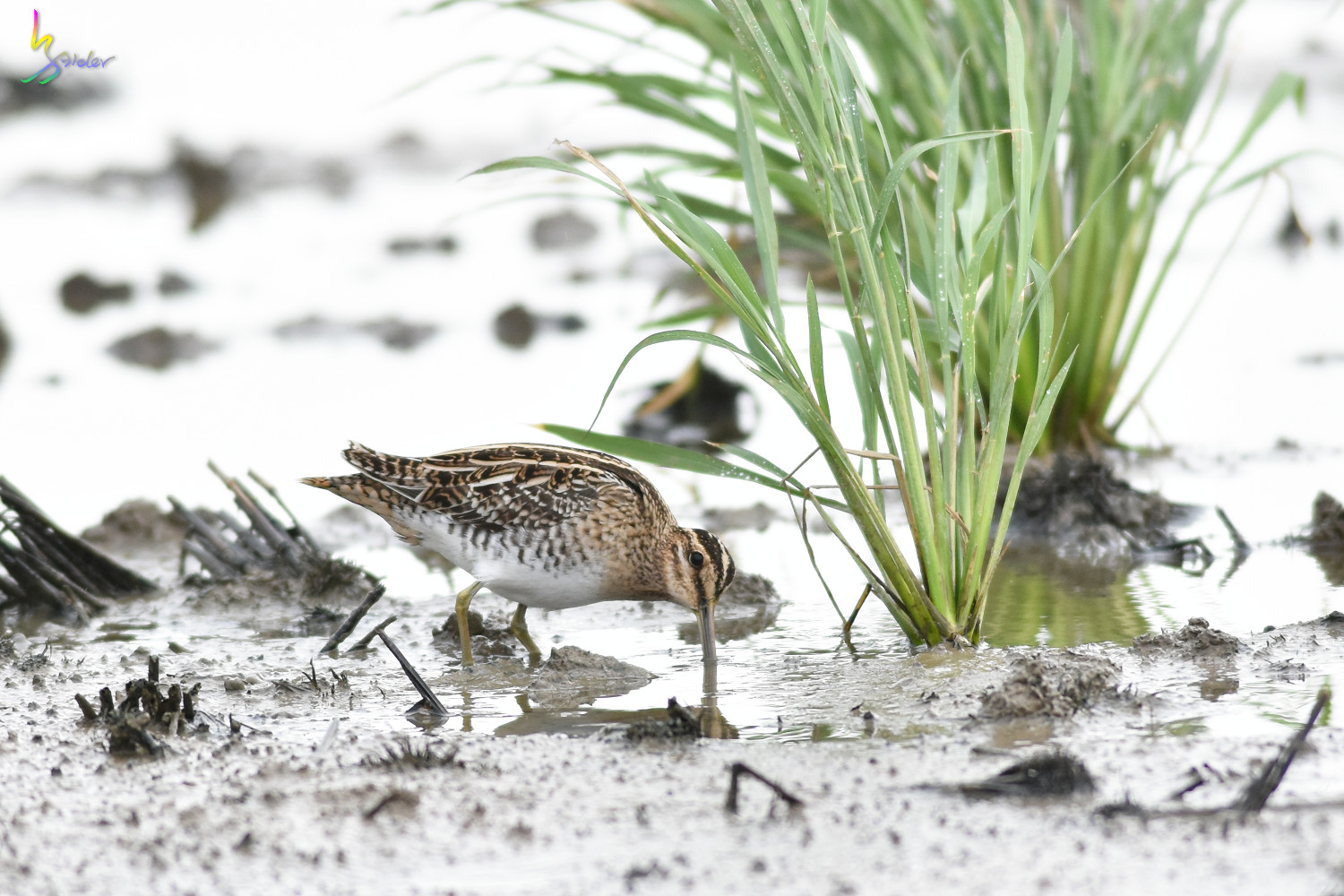 Common_Snipe_5022