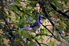 Blue jay in the oaks by marensr