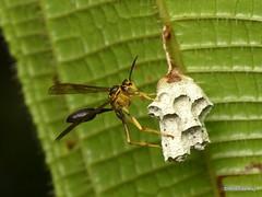 Paper wasp, Mischocyttarus sp.