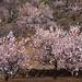 Almond blossom, Valle de Santiago, Tenerife
