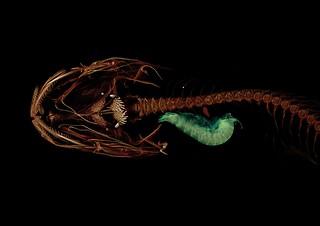 CT scan: Mariana snailfish-2