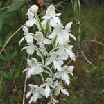 Platanthera belphariglottis