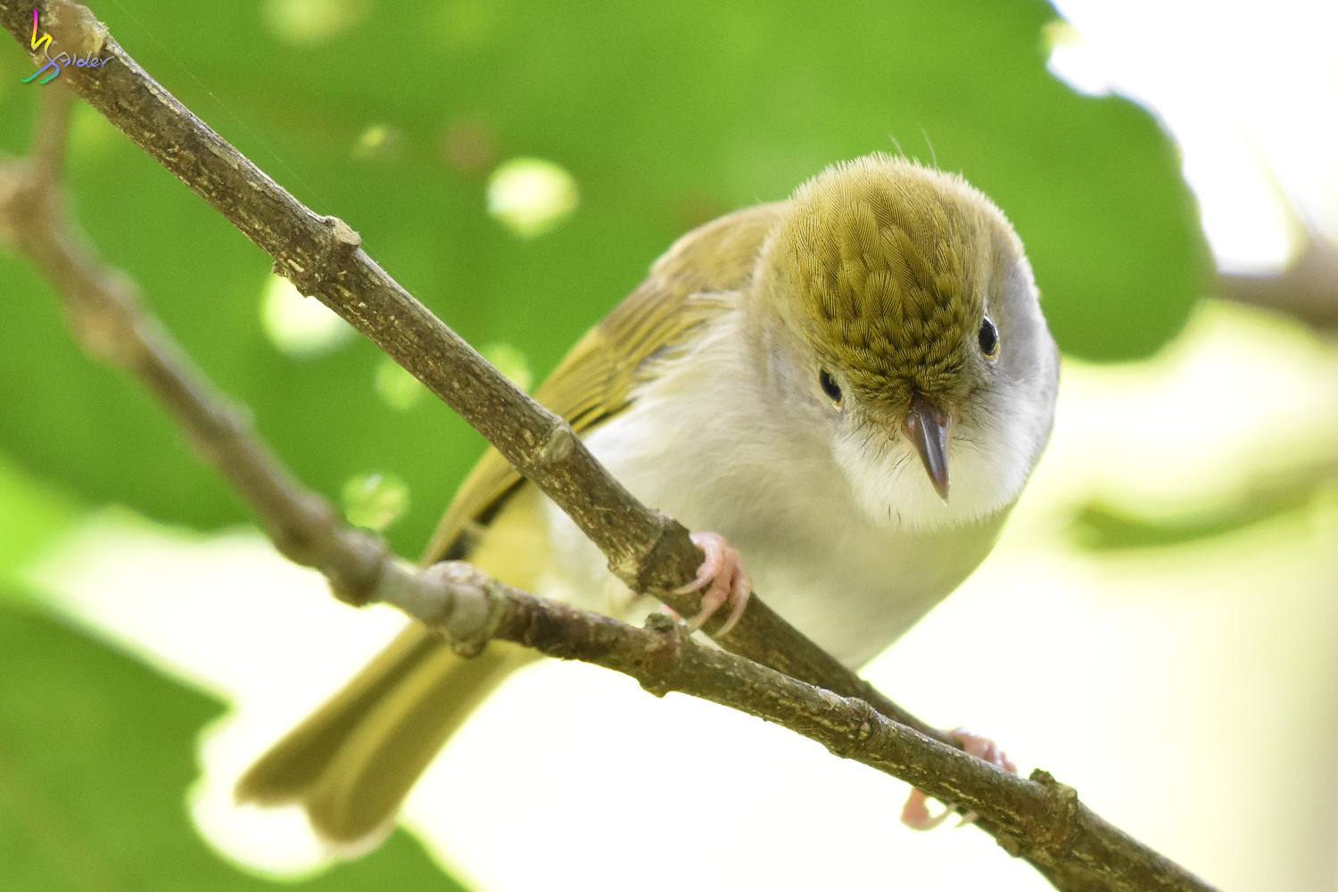 White-bellied_Yuhina_0322