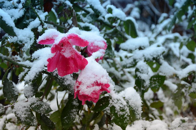 DSC_9326 Atlanta's 1st snow this year...