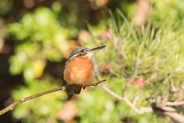 20171210-kingfisher-DSC_0582