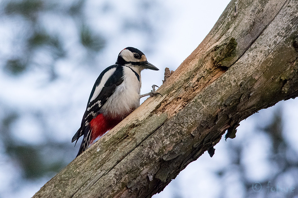 Estonia, great, spotted, woodpecker, pied, greater, rähn, kirjurähn, dendrocopos, major, picoides, Kaido Rummel