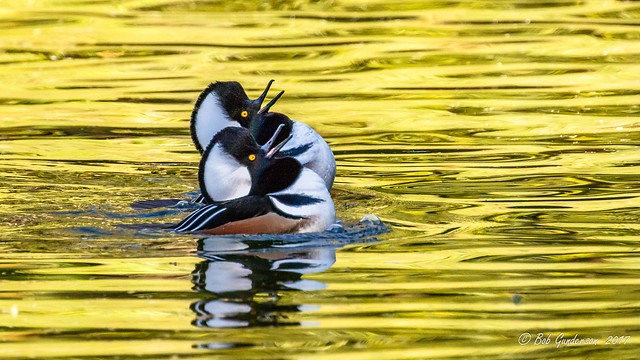 D5) Hooded Merganser (m)