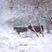 Higlander cows like ghosts in the storm