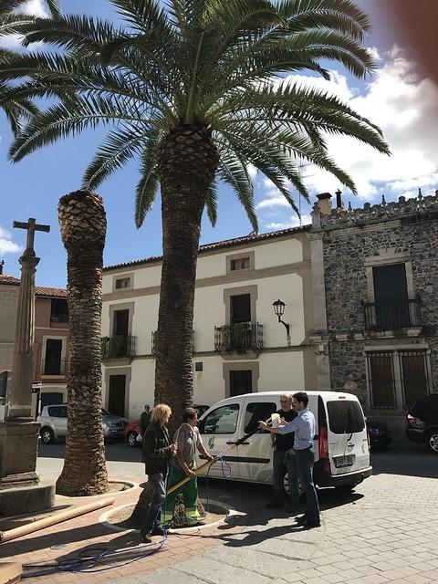 El Ayuntamiento de Coria previene el ataque del picudo rojo con un tratamiento ecológico