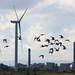 Black-Tailed Godwit Frodsham Marshes Cheshire UK