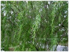 Beautiful foliage of Salix babylonica (Weeping Willow, Peking Willow, Chinese Weeping Willow,Babylon Weeping Willow, Babylon Willow), 16 Nov 2017
