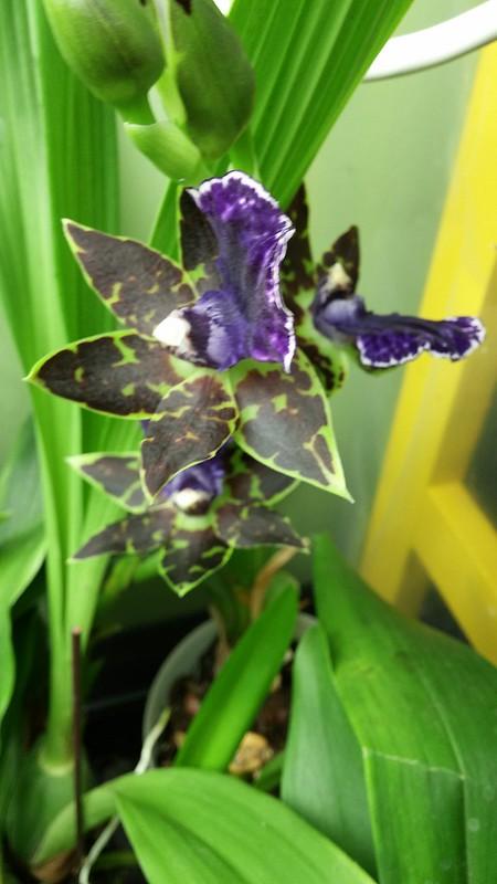 Les orchidées chez Sougriwa - Page 2 27126961409_6f007c7529_c