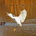 The Egret is Landing