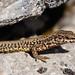 Podarcis liolepis_17A0569